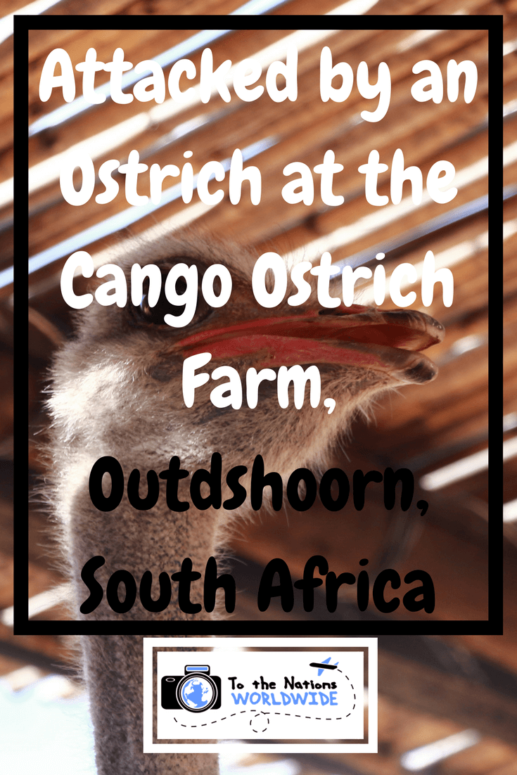 Attacked by an Ostrich at the Cango Ostrich Farm, Outdshoorn, South Africa