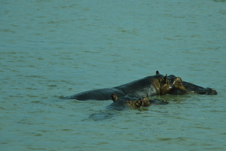 Seeing Hippos in South Africa: Durban to St. Lucia